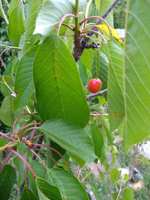 A cherry amid leaves
