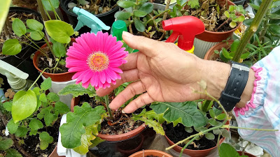 A hand showing a Gerbera flower